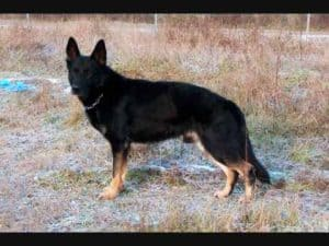 West German Shepherd working lines