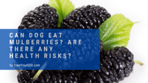 can dog eat mulberries?
