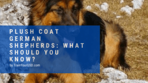 plush coat german shepherds