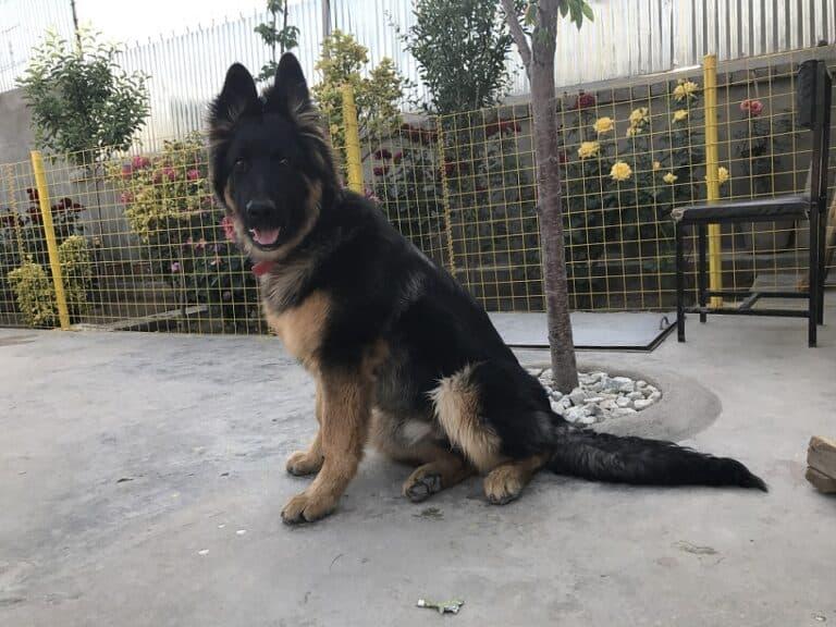 help my German shepherd lose weight