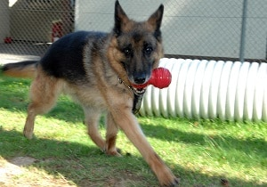 GSD chewing toy