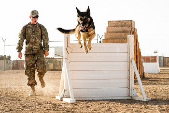 German shepherd doing exercise.