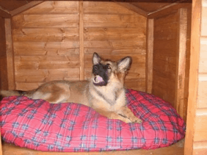 German shepherd inside dog house