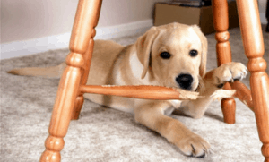 Dog chewing furniture.
