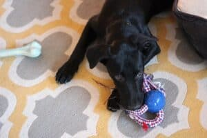 puppy chewing on a rope toy.