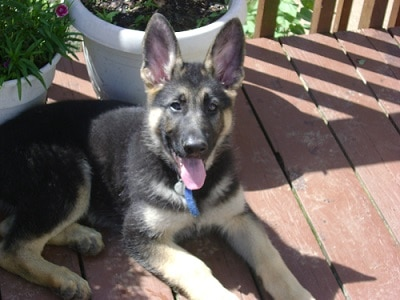 3 months old German shepherd waiting for her owner