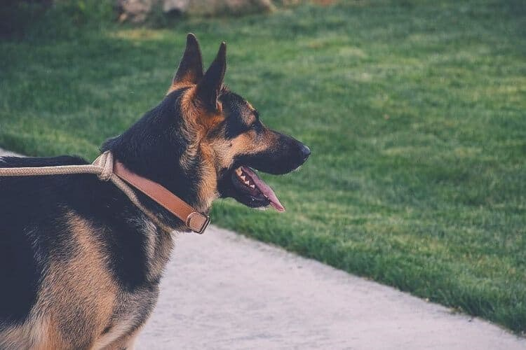 GSD wearing collar waiting for his owner
