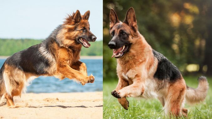 short haired vs long haired gsd image