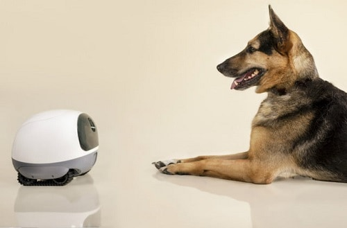 German shepherd in front of pet camera.
