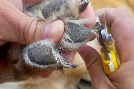 German shepherd getting nail trimmed.