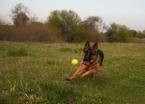 GSD playing toy ball