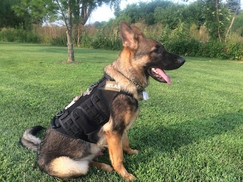 German shepherd wearing harness.