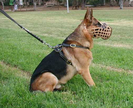 German shepherd wearing muzzle.