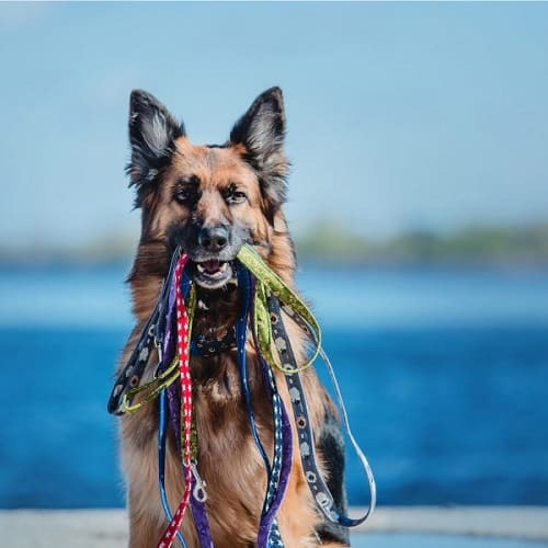 German shepherd with a bunch of leashes