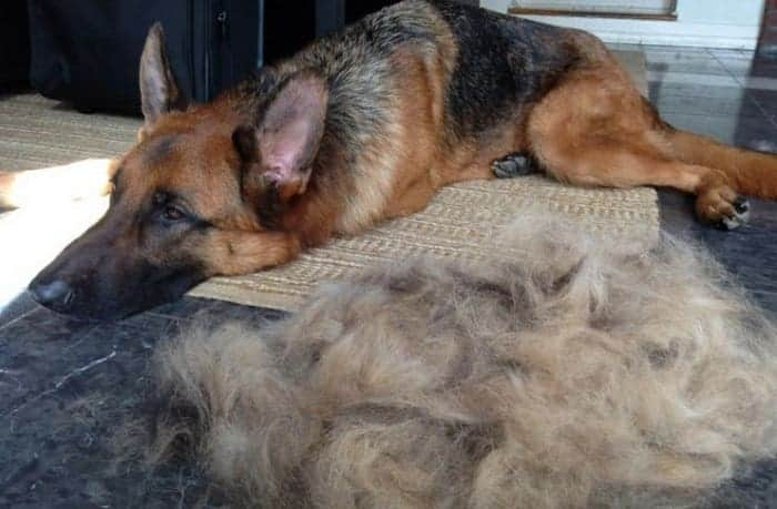 Image of German shepherd shedding a lot of hair.