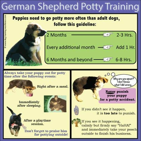 German Shepherd puppy potty training infographic