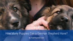 How Many Puppies Can a German Shepherd Have_