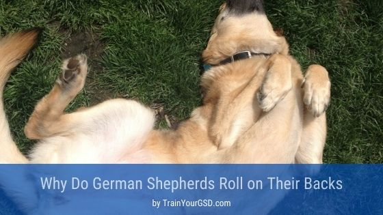 German shepherds roll on their backs