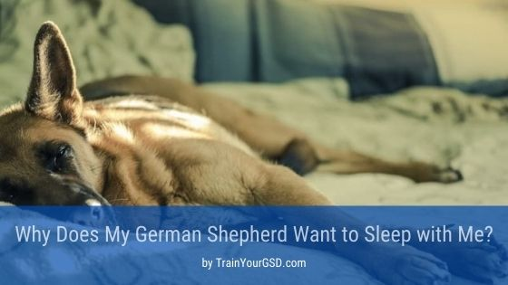 why does my german shepherd want to sleep with me