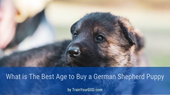 best age to buy a german shepherd puppy