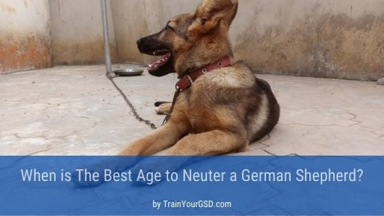 best age to neuter a German Shepherd