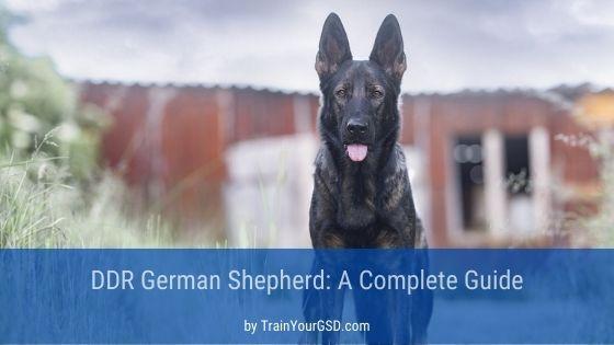 DDR German Shepherd sitting in the backyard