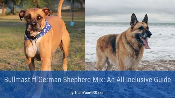 Bullmastiff mixed with German shepherd
