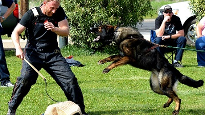 DDR German Shepherd training with trainer