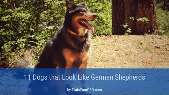 dogs that look like German Shepherds