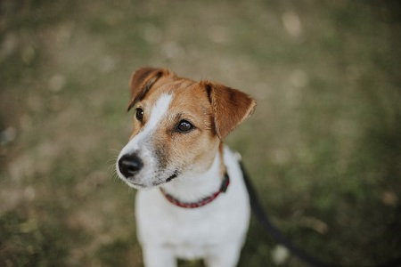 Jack Russell Terrier staring blankly into space