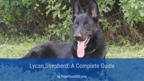 lycan shepherd laying on the grass