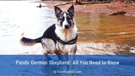all you need to know about panda german shepherd