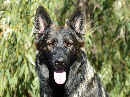 A complete guide to sable german shepherd