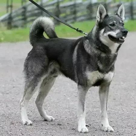 Norwegian Elkhound German Shepherd