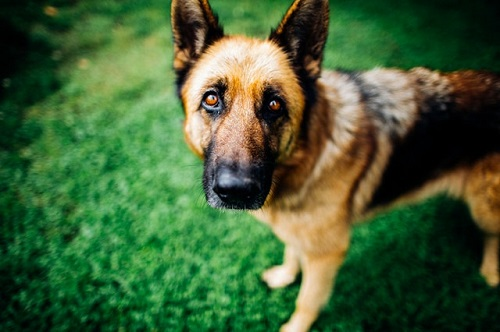 are German shepherds good with other dogs