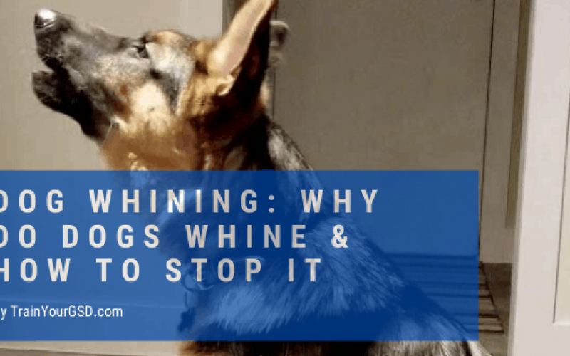 dog whining: why and how to stop it