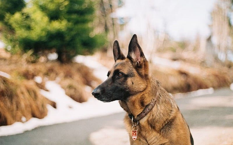best dog collar for german shepherds featured image