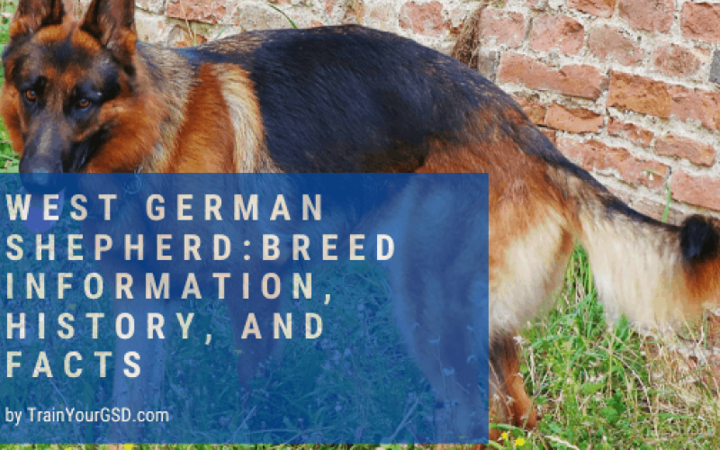 west german shepherd: breed information, history, and facts