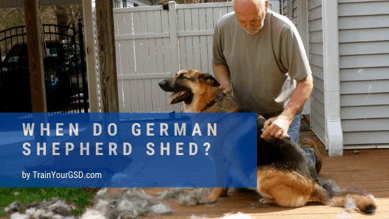 when do german shepherds shed?